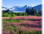 View of Mendenhall glacier and wildflowers in Juneau Alaska