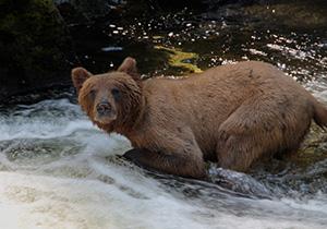 Bear in Southeast Alaska