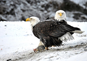 Eagles in Haines AK
